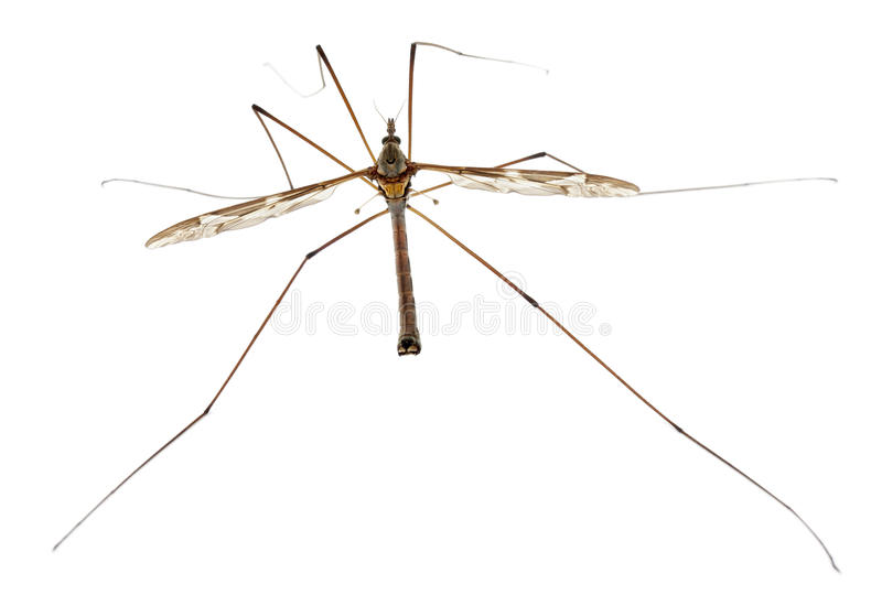 Crane fly or daddy long-legs, Tipula maxima stock images