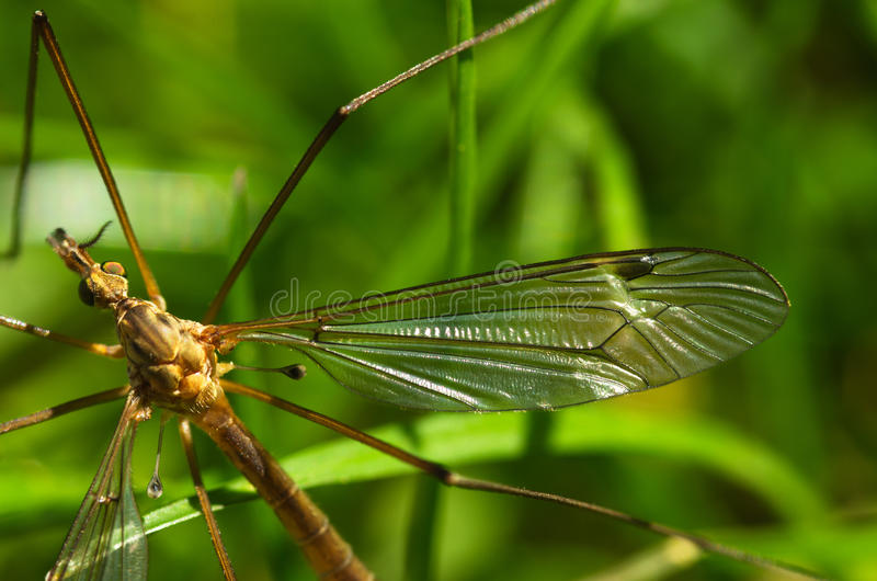 Crane fly wing, head and eyes - Tipula sp. stock photo