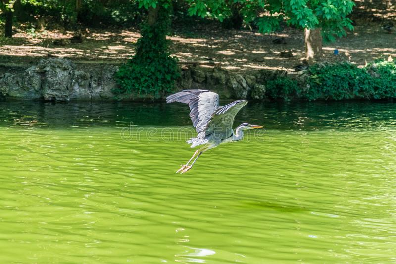 Crane flying above water pond stock photo