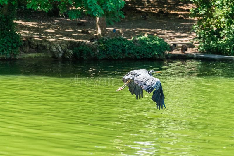 Crane flying above water pond stock photos