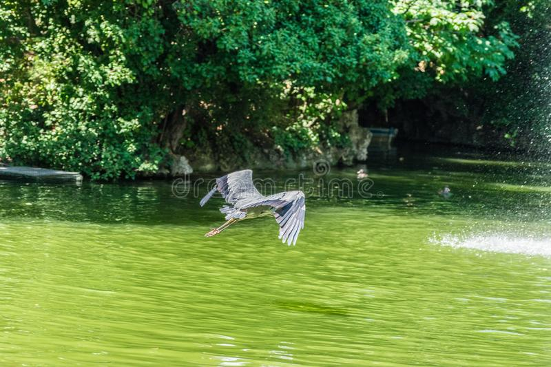 Crane flying above water pond royalty free stock image