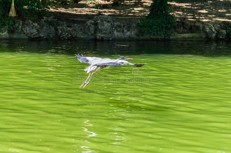 Crane flying above water pond royalty free stock photography