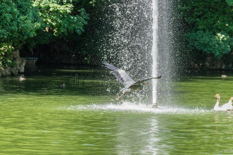 Crane flying above water pond stock images