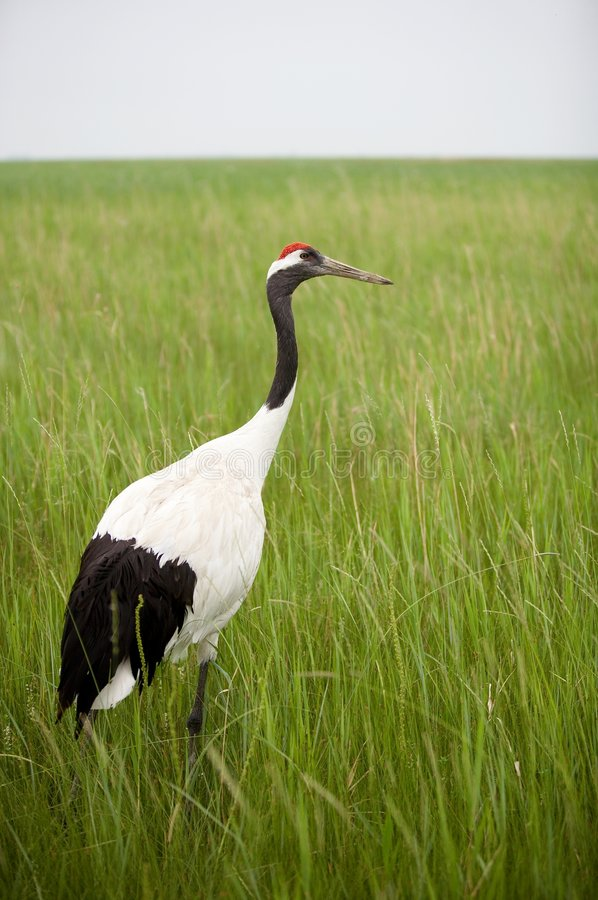 Crane in gress. Portrait of red -crowned crane in gress meadow royalty free stock image