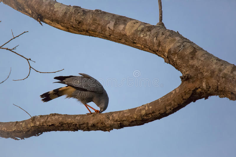Crane Hawk Eating en rama de árbol bifurcada en la oscuridad fotos de archivo