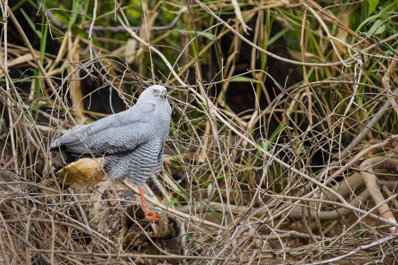 Crane Hawk no log caído imagem de stock royalty free