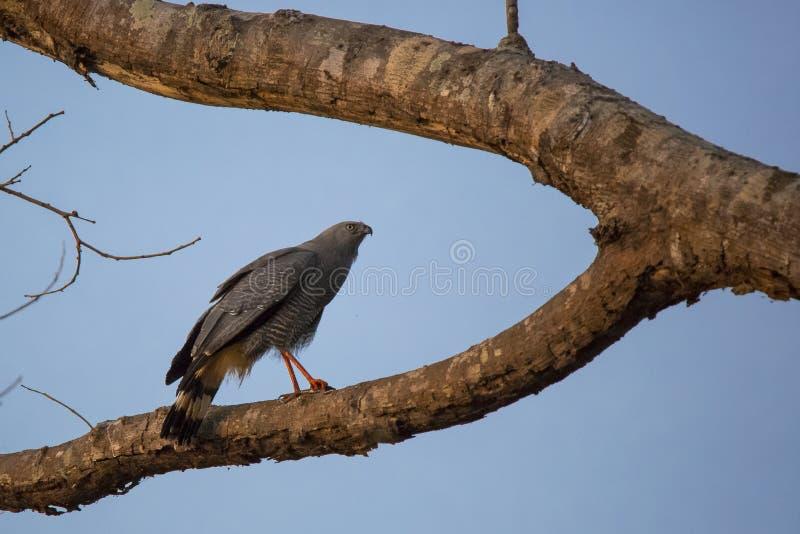 Crane Hawk på delad trädfilial på skymning arkivbilder