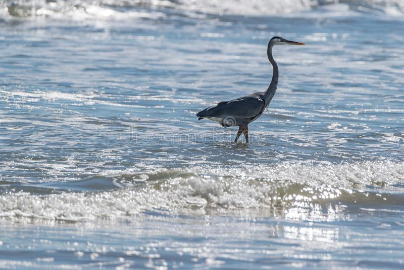 Crane Hunting Fish dans le ressac photos stock