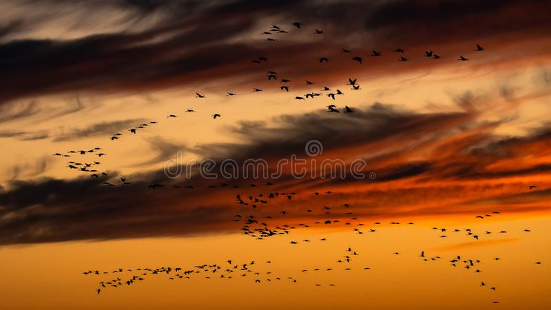 Crane Migration in the sunset, Hortobagy, Hungary stock image