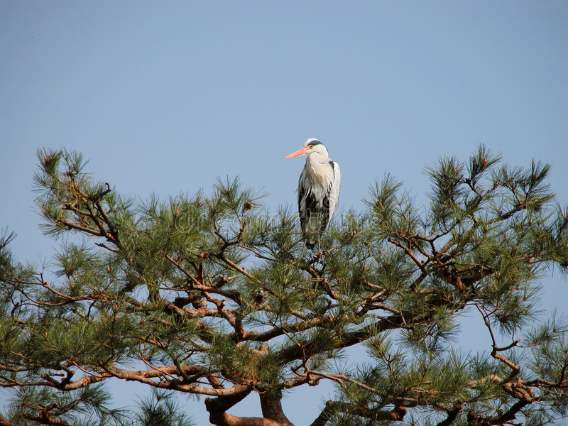 Download Crane in pine stock photo. Image of bird, postcard, japanese - 102708