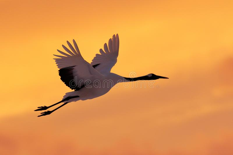 Crane sunset, Japan. Bird fly, wildlife scene from snowy nature. Red-crowned crane flight above snowy meadow, Russia, Asia. Cold. Day in the nature, big white stock photo