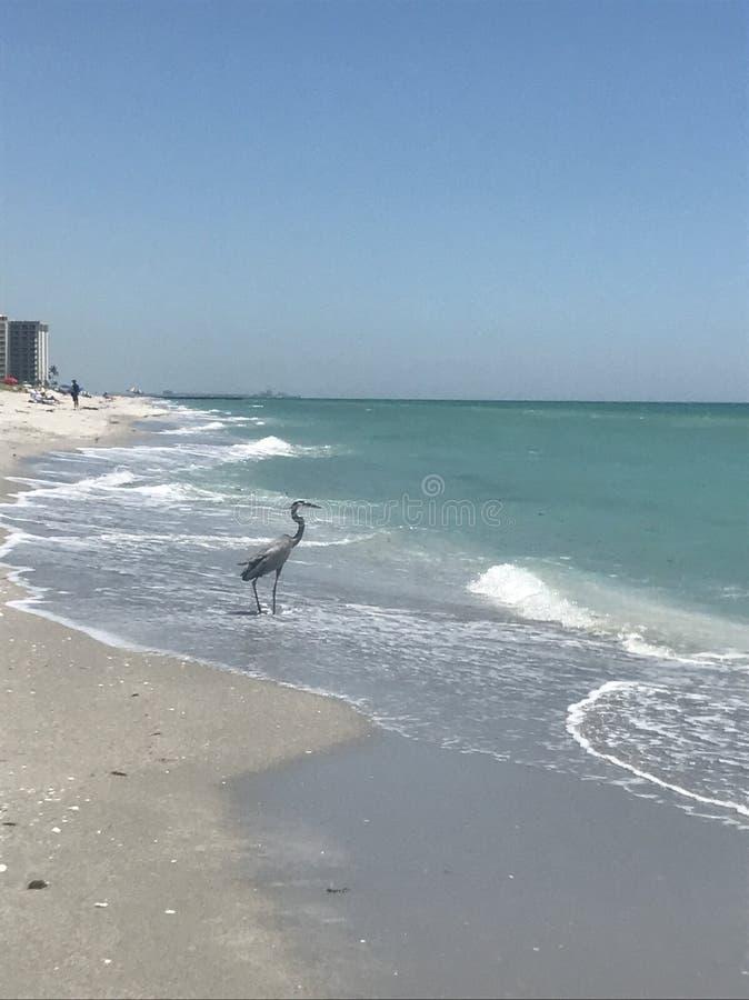 Crane wading stock image