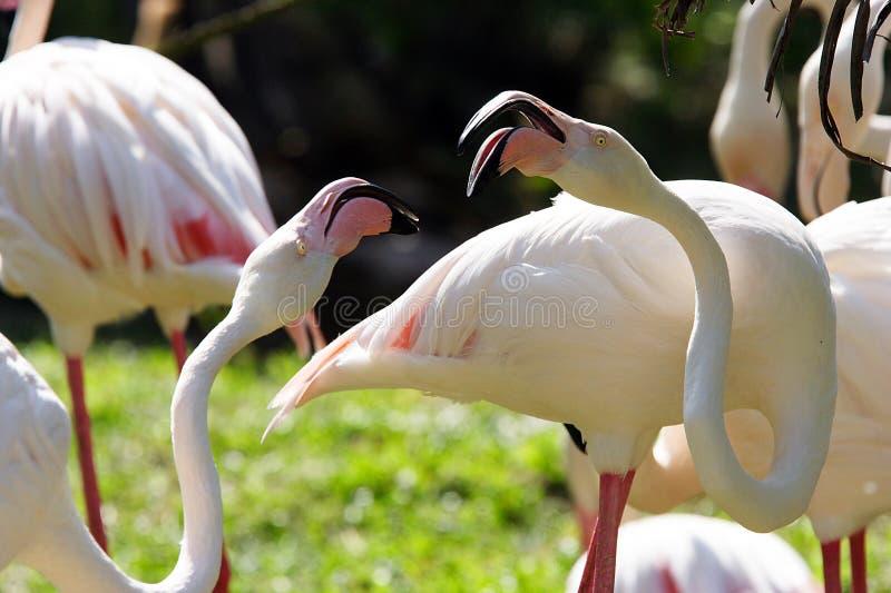Download Cranes stock photo. Image of feeders, animals, feeder, flamingos - 239102