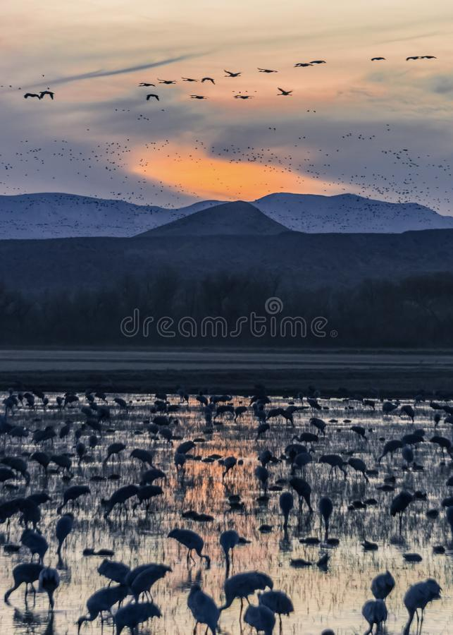 The cranes. Cranes at the Bosque DE L'Apache New Mexico feeding at Sunset As they are migrating south stock images