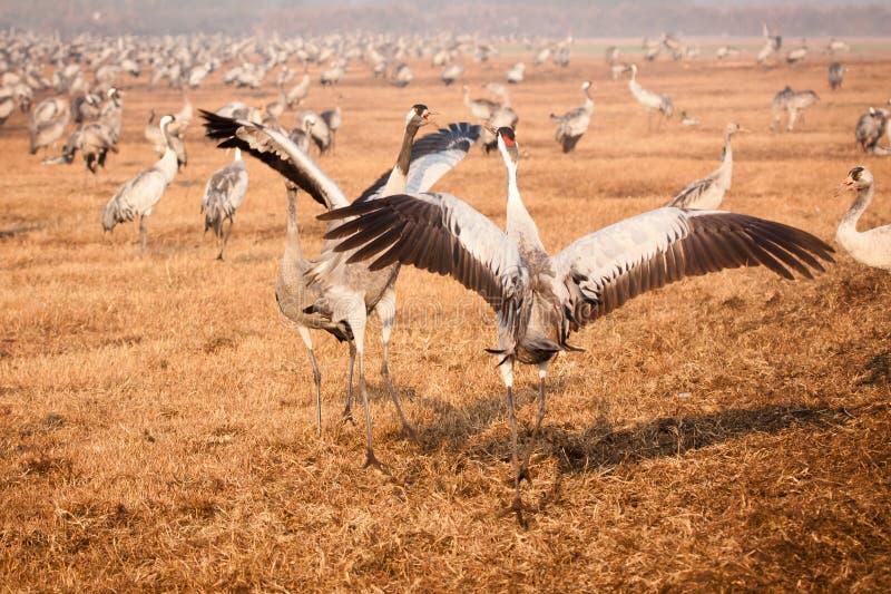 Download Cranes fighting stock image. Image of head, bird, birds - 23596231