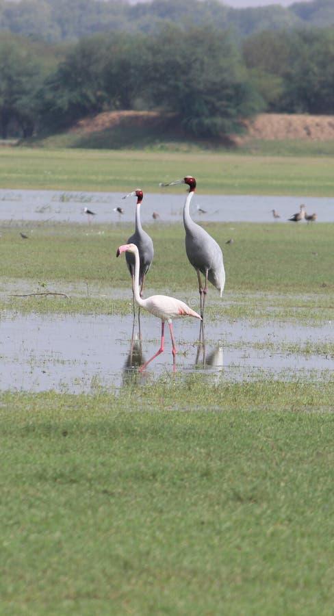 Cranes and Flamingo stock photos