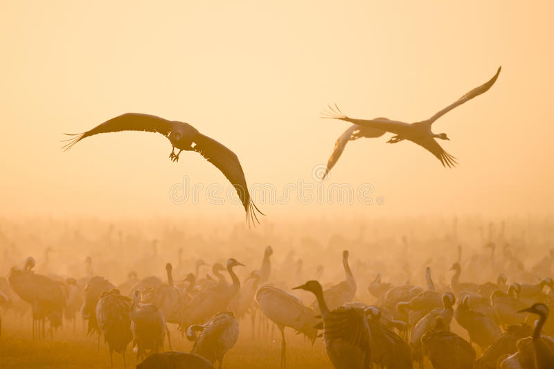 Cranes Flying Royalty Free Stock Photography
