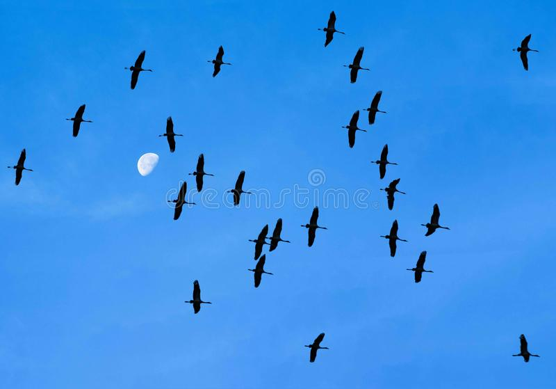 Cranes flying in front of half moon, migration birds, flying cranes royalty free stock images