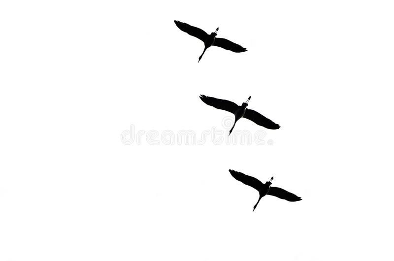 THE CRANES ARE FLYING royalty free stock images