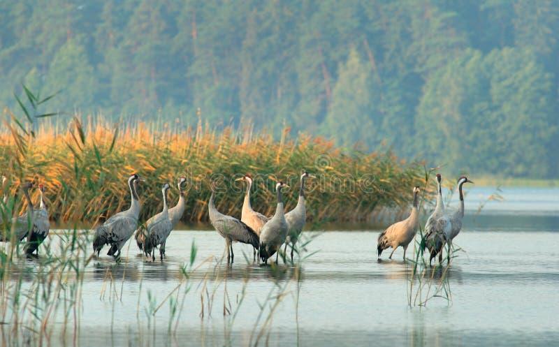 Cranes(Grus grus) royalty free stock photos