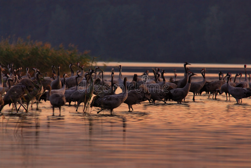 Download Cranes(Grus Grus) In Evening Stock Photography - Image: 1405632