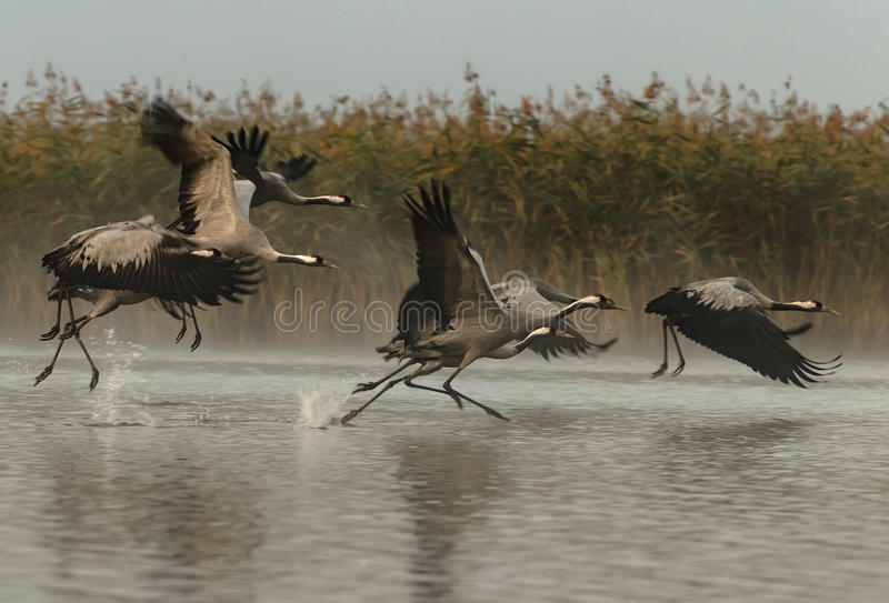 Cranes Grus grus rising for a flight in foggy morning stock images