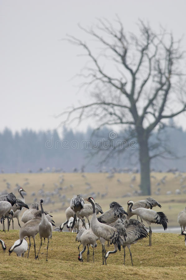 Cranes or grus grus at their breeding location. Large group of eurasian cranes at their breeding locations in Sweden stock images