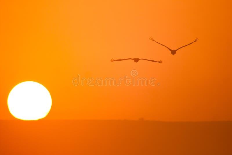 Cranes and sun. Cranes in flight and sun, Grus grus royalty free stock photo