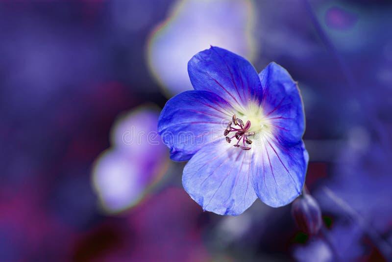 Cranesbill花(大竺葵)反对紫色蓝色背景 库存照片