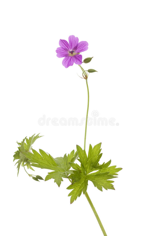 Download Cranesbill stock image. Image of plant, background, flower - 25453335