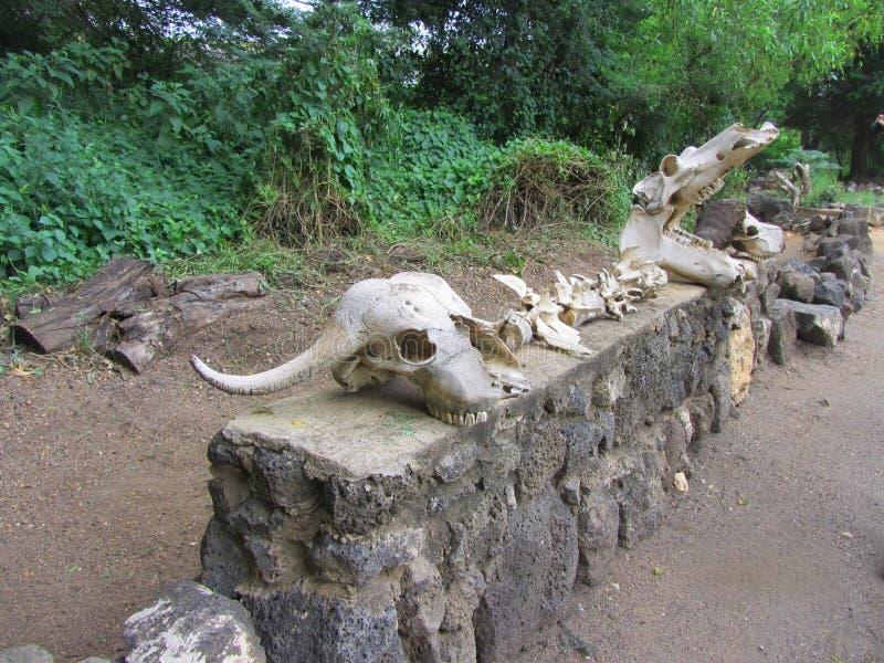 Crani animali nel parco nazionale ad ovest di Tsavo fotografia stock libera da diritti