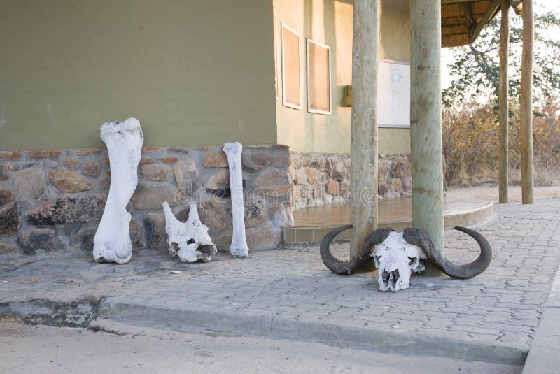 Crani ed ossa degli animali selvatici fotografie stock libere da diritti