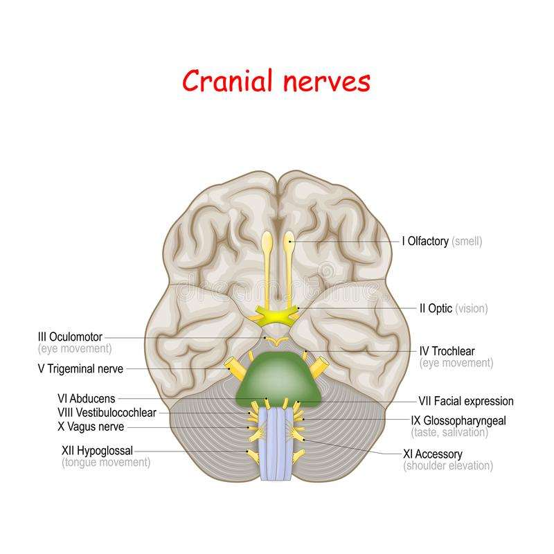 Cranial nerves. human brain and brainstem from below stock illustration