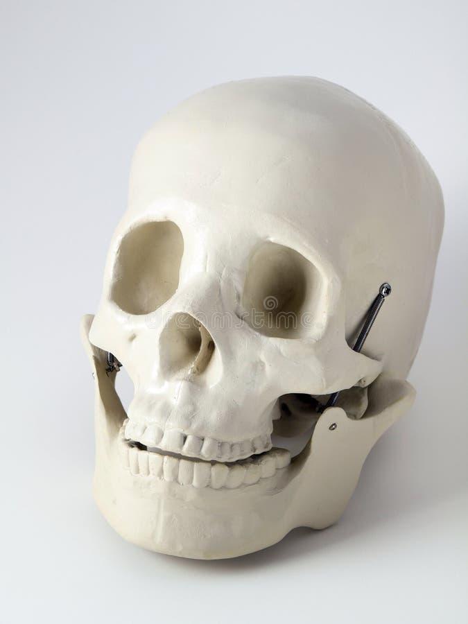 Cranio anatomico medico fotografia stock libera da diritti