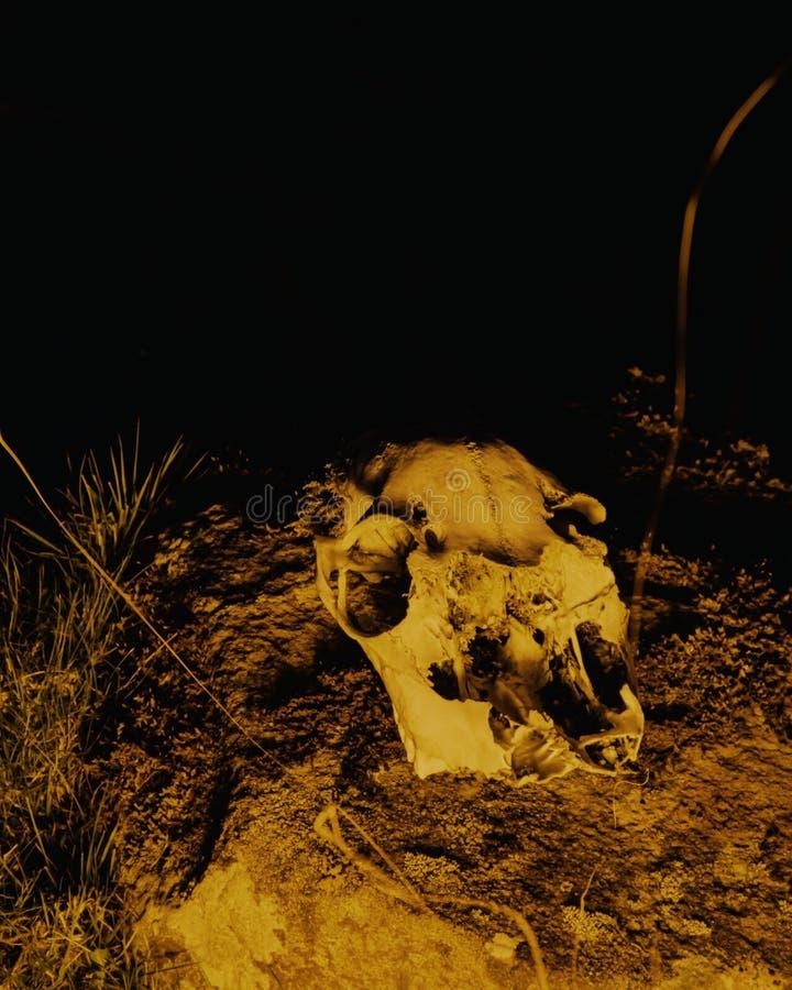 Cranio animale acceso dalle fiamme fotografie stock