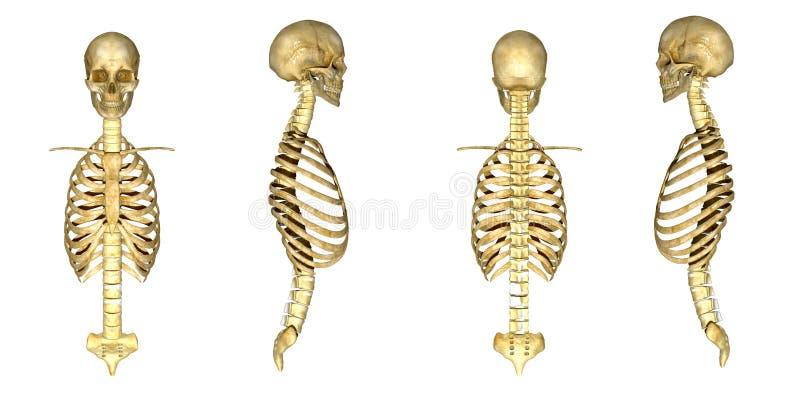 Cranio con la gabbia toracica royalty illustrazione gratis