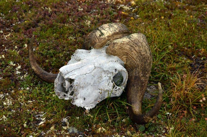 Cranio del bue di muschio fotografia stock libera da diritti