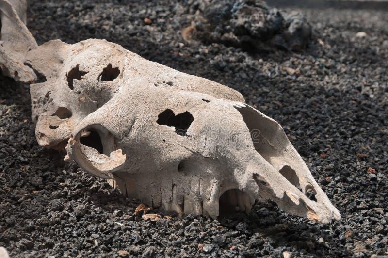 Cranio del cammello fotografie stock
