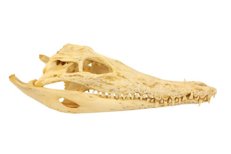 Cranio del coccodrillo fotografia stock libera da diritti