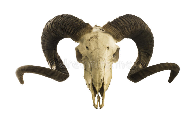 Cranio del Ram con i grandi corni isolati su bianco immagini stock libere da diritti