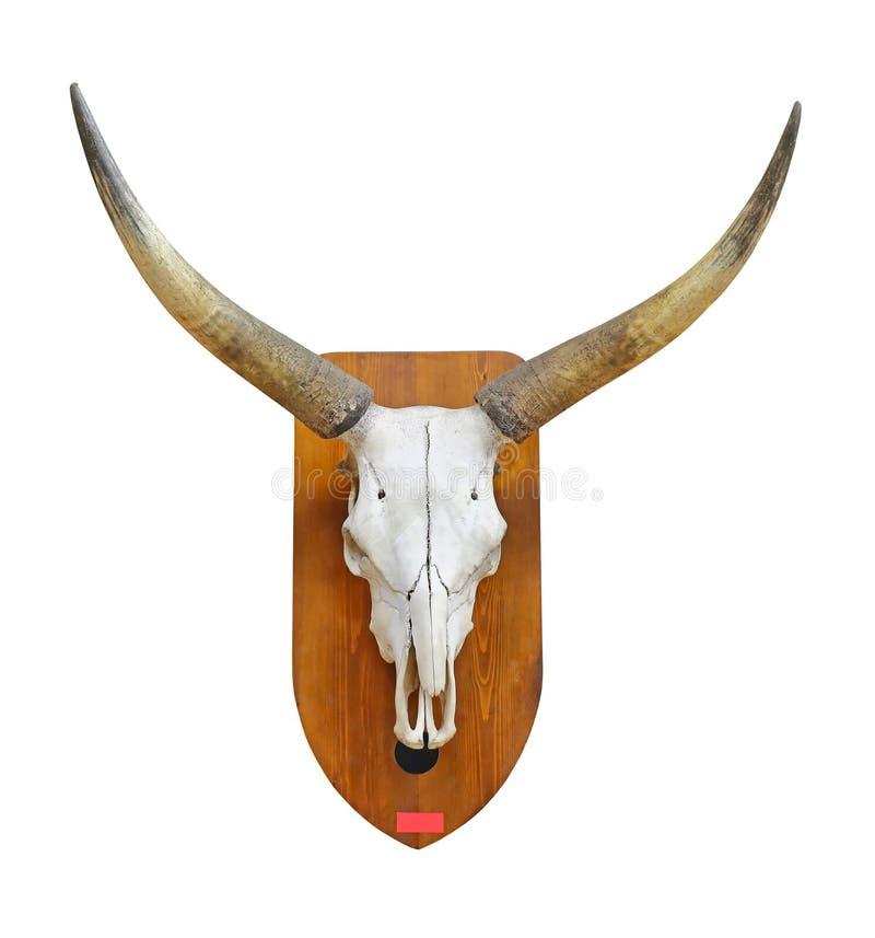 Cranio del toro fotografia stock libera da diritti