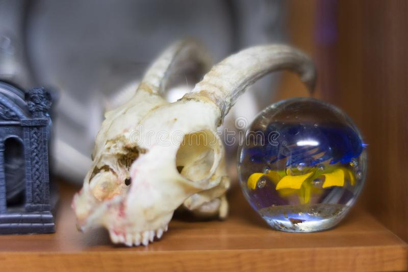 Cranio della capra immagine stock
