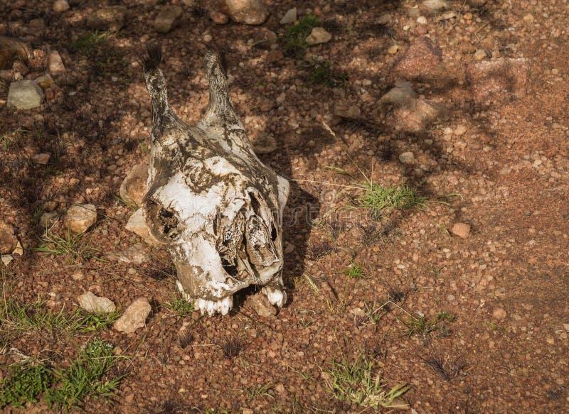 Cranio della giraffa in cespuglio keniano in masai Mara, Africa fotografia stock libera da diritti