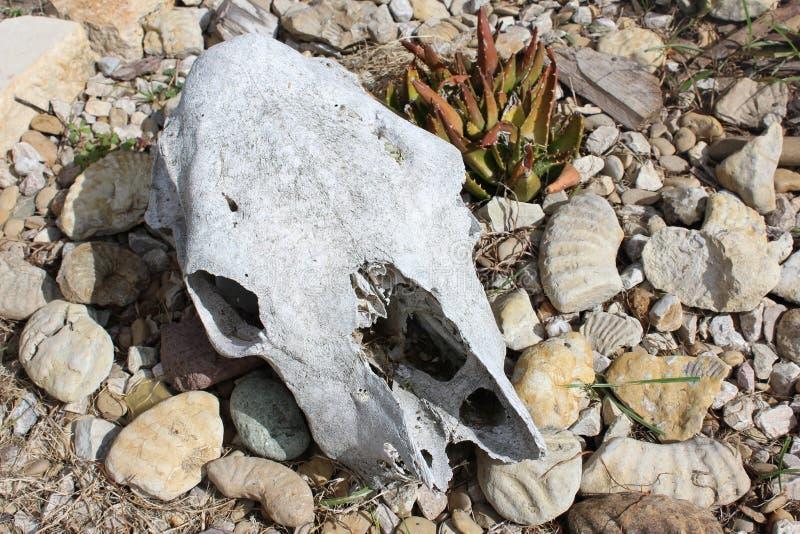 Cranio della mucca nel tema del deserto fotografia stock