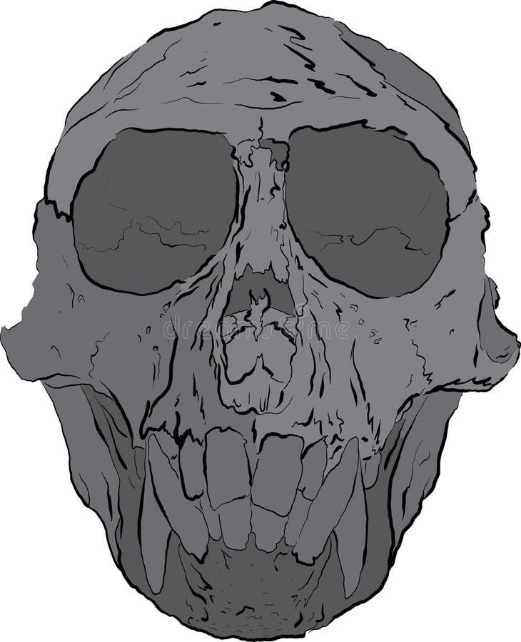 Cranio della scimmia fotografia stock
