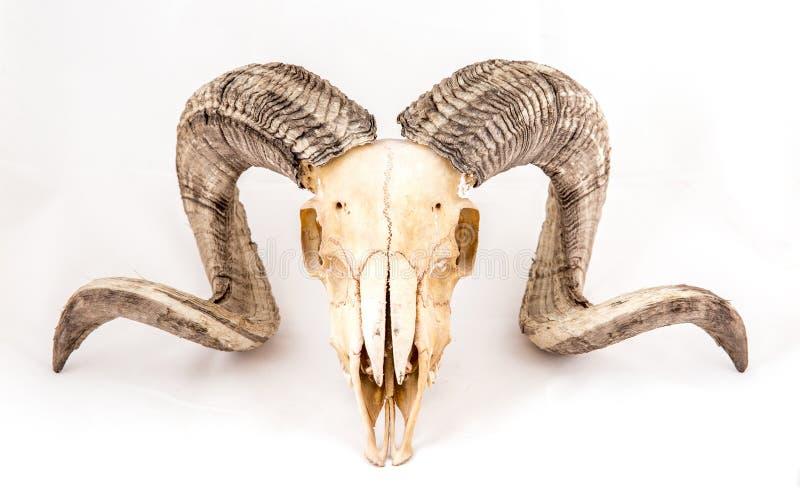 Cranio delle pecore di Arapawa su bianco immagini stock