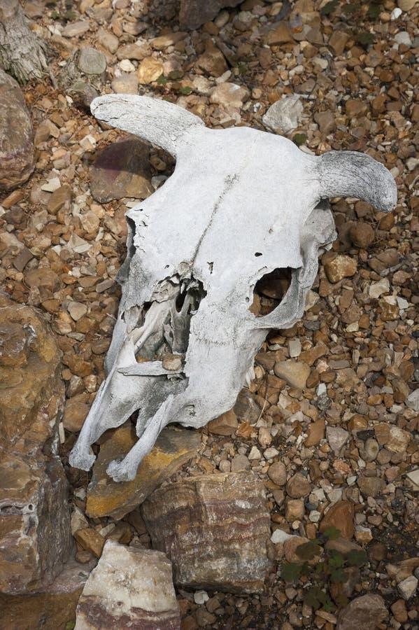 Cranio guasto della mucca in deserto, ovest americano fotografie stock