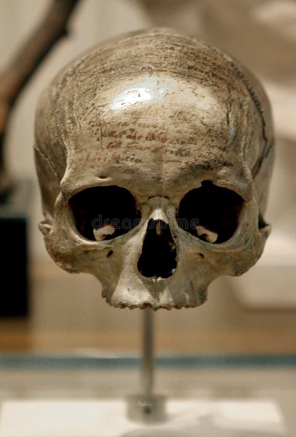 Cranio umano fotografie stock