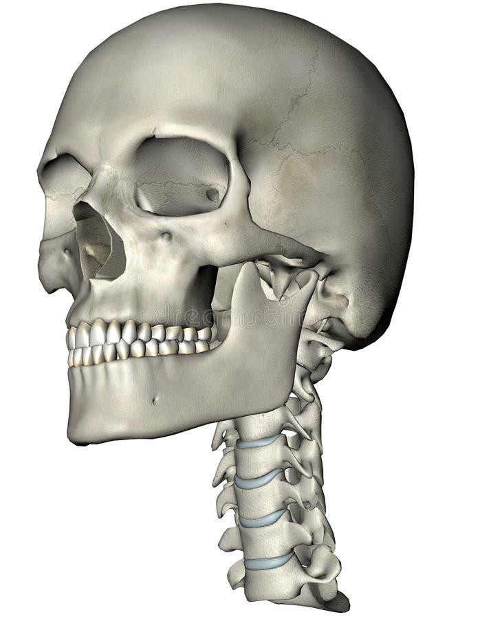 Cranio umano e collo obliqui royalty illustrazione gratis