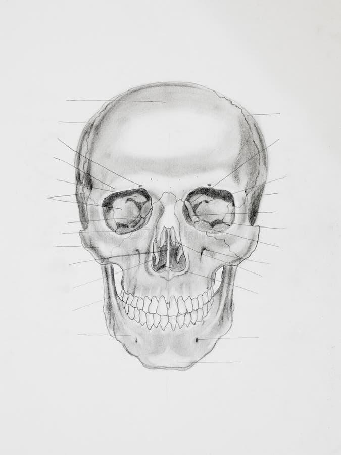 Cranio umano. illustrazione medica royalty illustrazione gratis